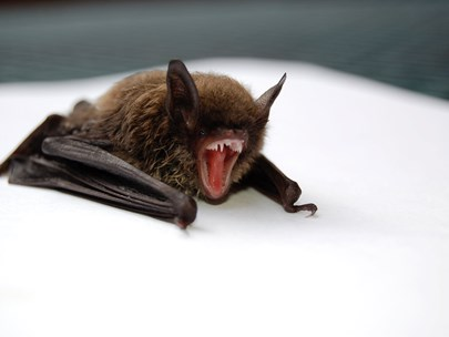 Small brown bat baring it's teeth on a white background